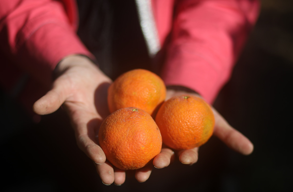A Palestinian farmer holds three oranges at a farm.