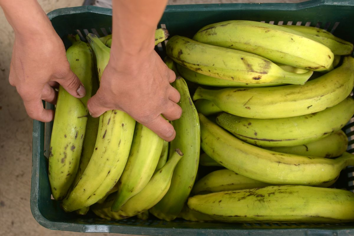 An employee arranges plantains in a plastic green basket.
