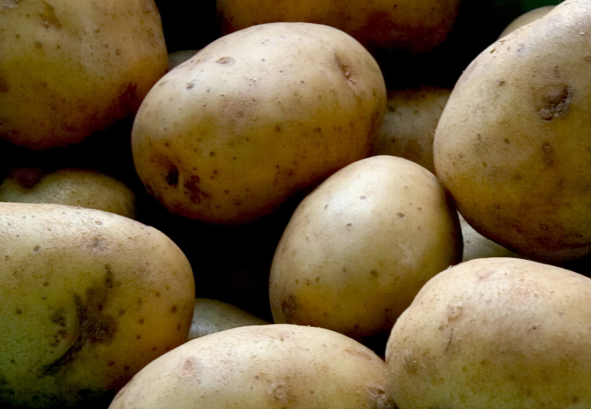 Yukon Gold potatoes are stored.