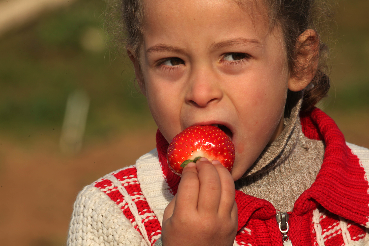 A Palestinian girl eats strawberries during strawberry season.