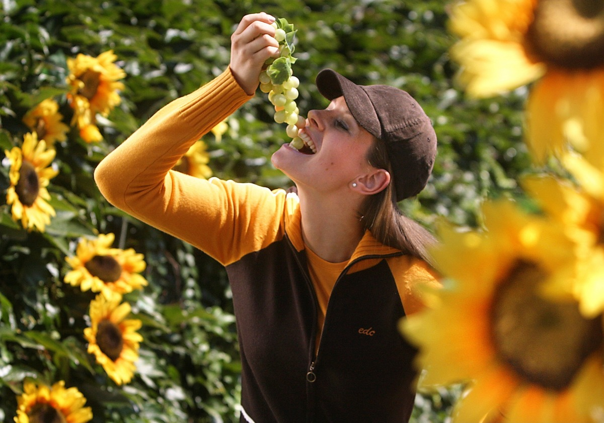 A young woman eats green grapes in a sunflower field.