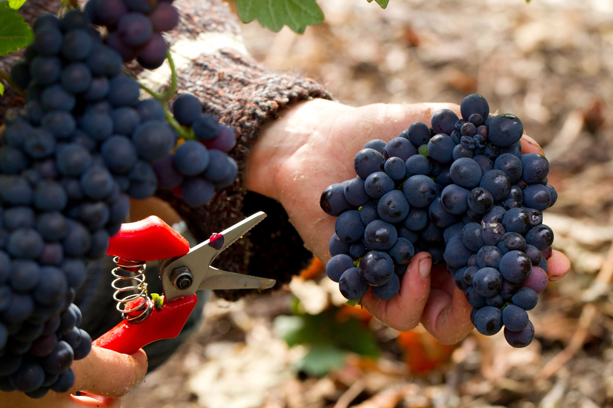 A farmer holds cut grapes from a harvest.