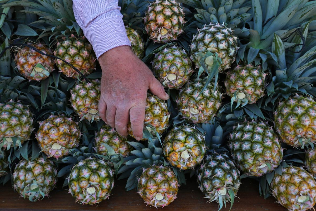 A Palestinian man picks pineapples during a harvest at a farm.