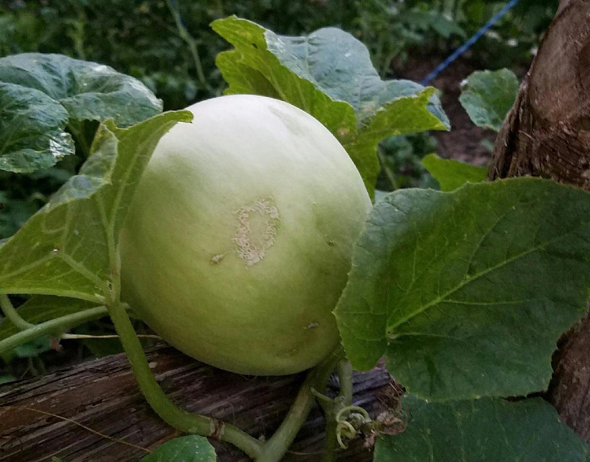 A honeydew melon grows on a vine.