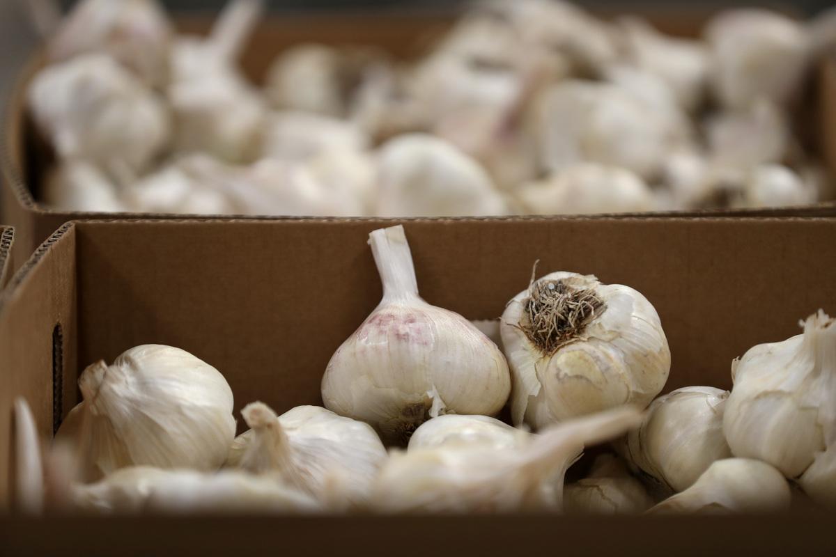 Freshly picked heads of garlic sit in cardboard boxes.