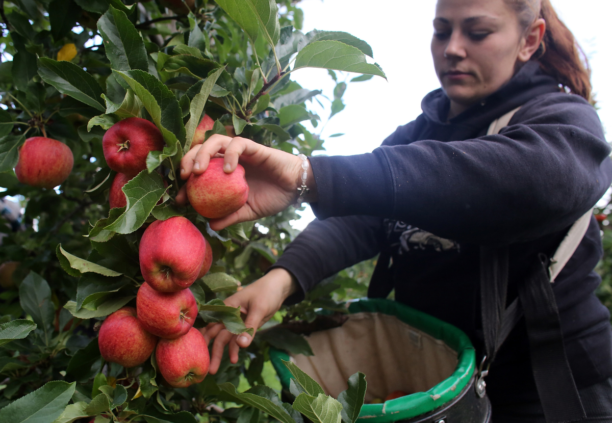 An apple picker gathers Gala apples in an orchard.