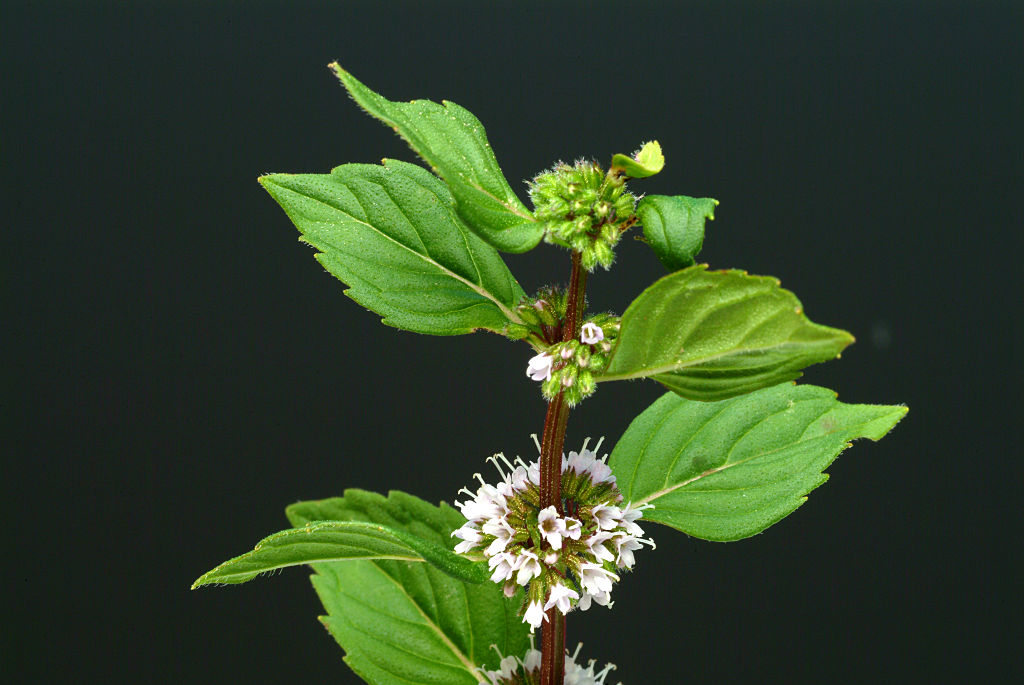 The peppermint herb is photographed.