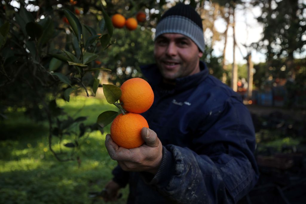 A man picks oranges.