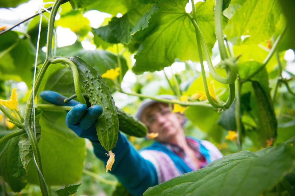 cucumber-920562724