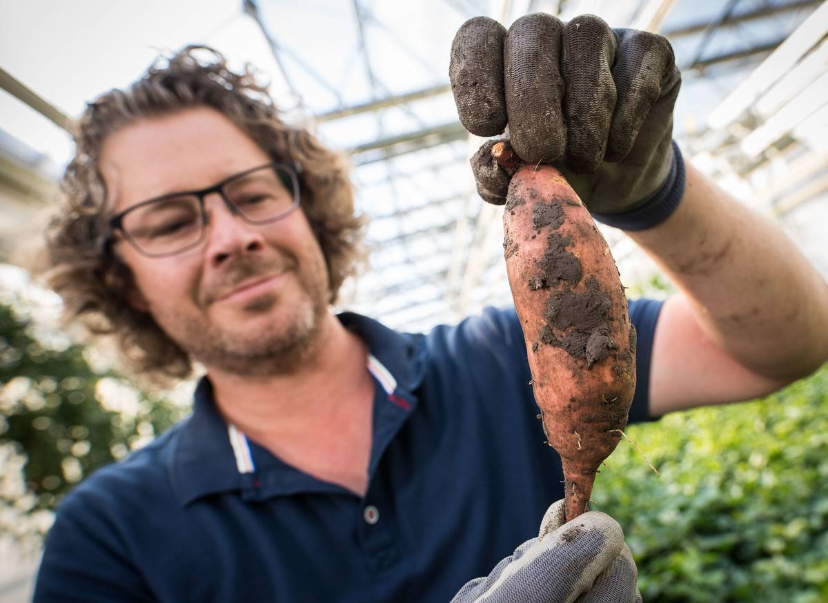 A farm manager holds up a sweet potato he grew.