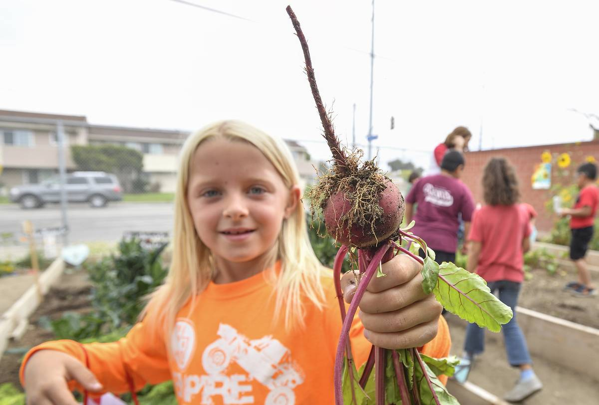 A student holds up a beet from her elementary school garden.