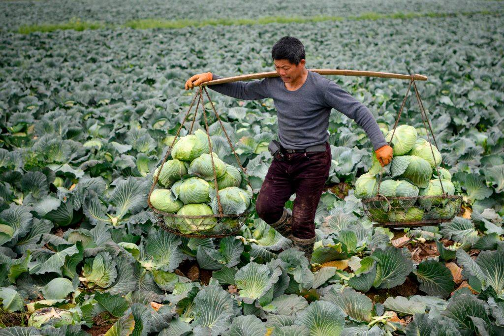 A farmer harvests cabbage.