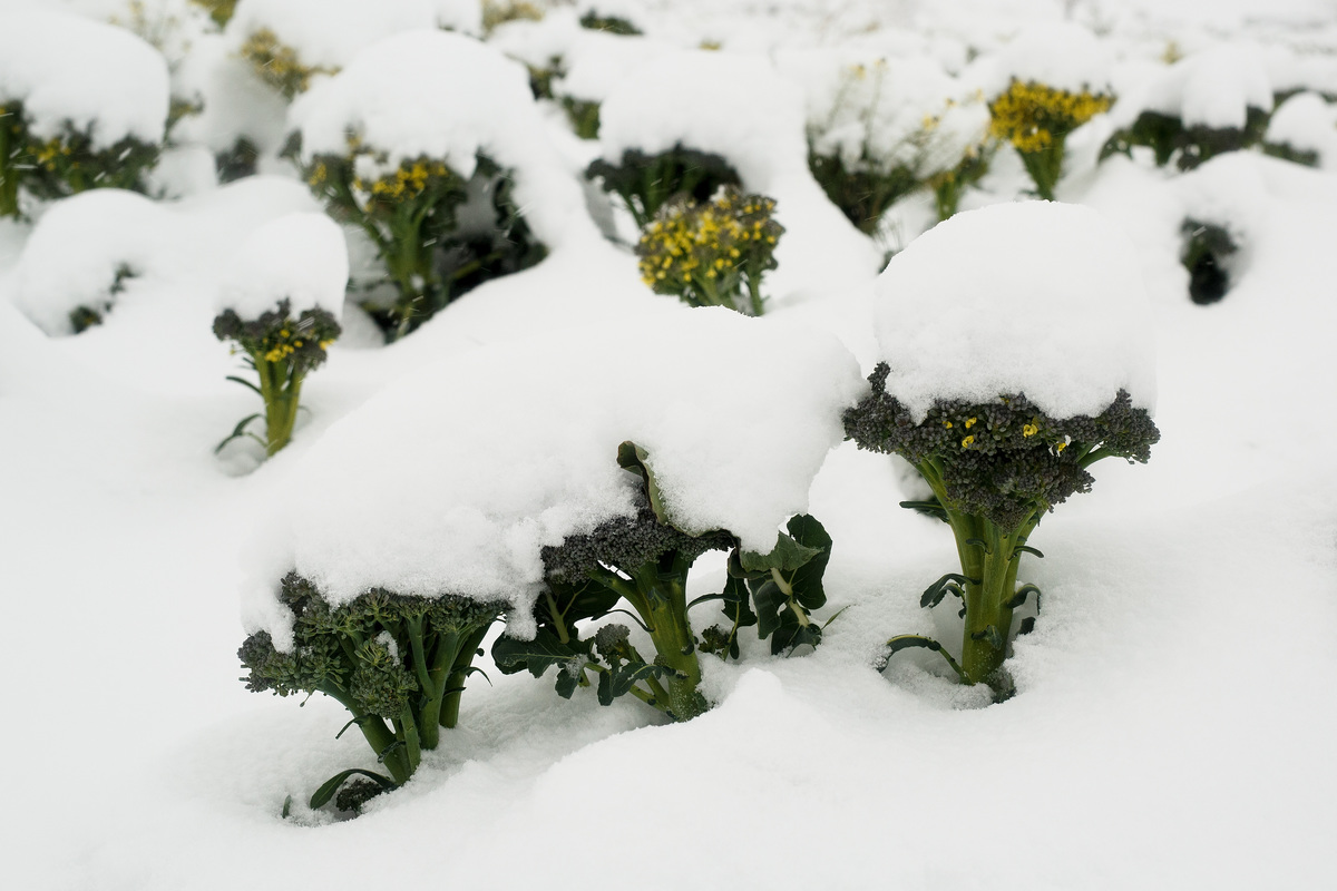 A field of broccoli is covered in snow.