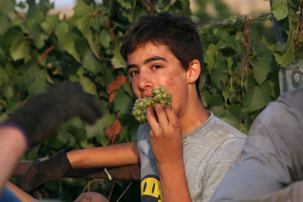 An Israeli harvester eats green grapes.