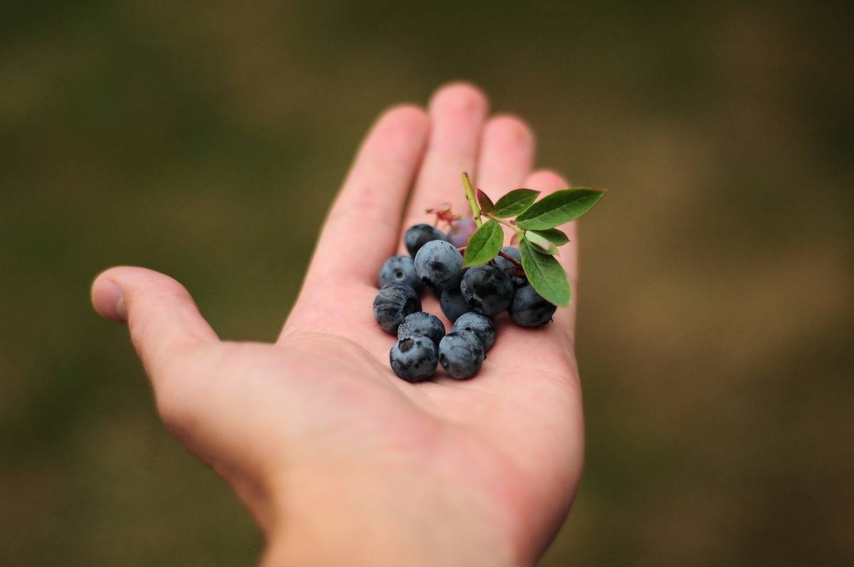 Someone holds blueberries in their palm.