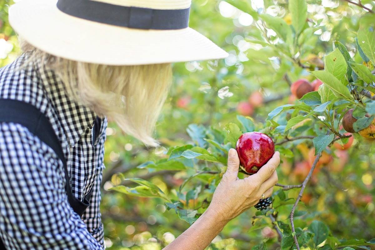 A woman picks a red apple off a tree.