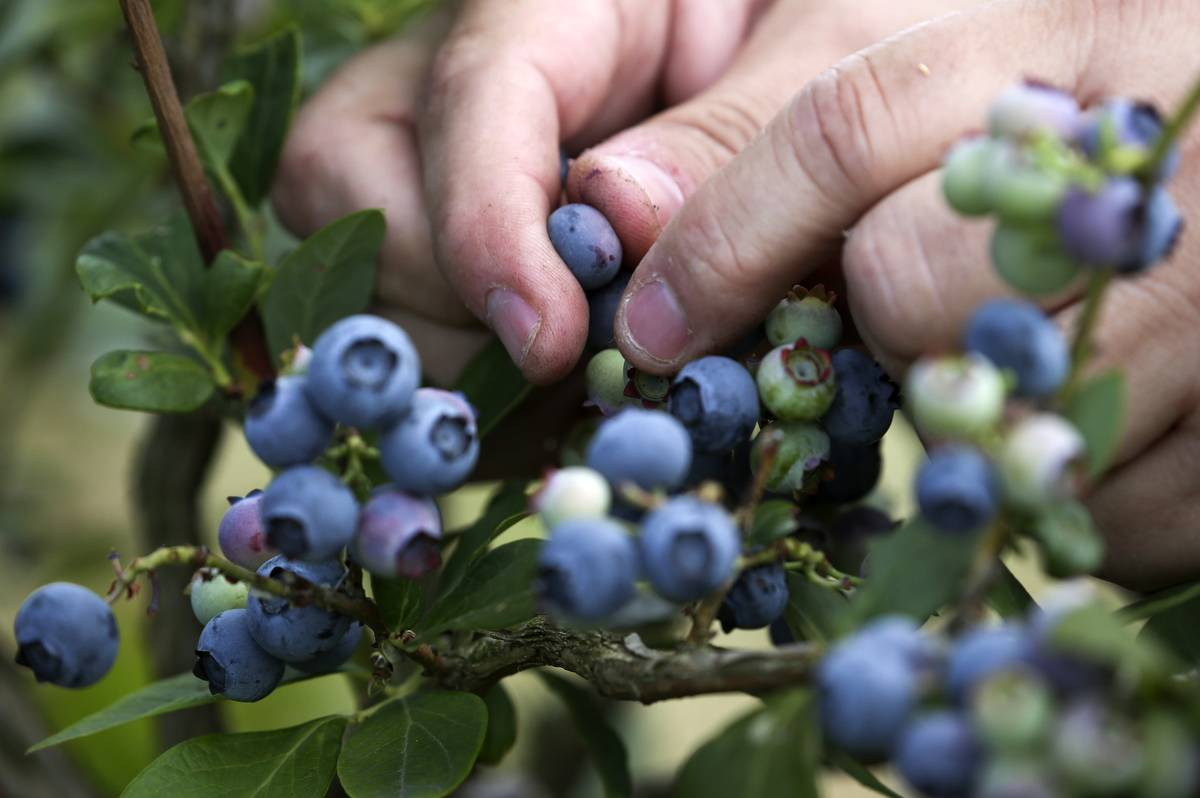 A woman harvests blueberries.