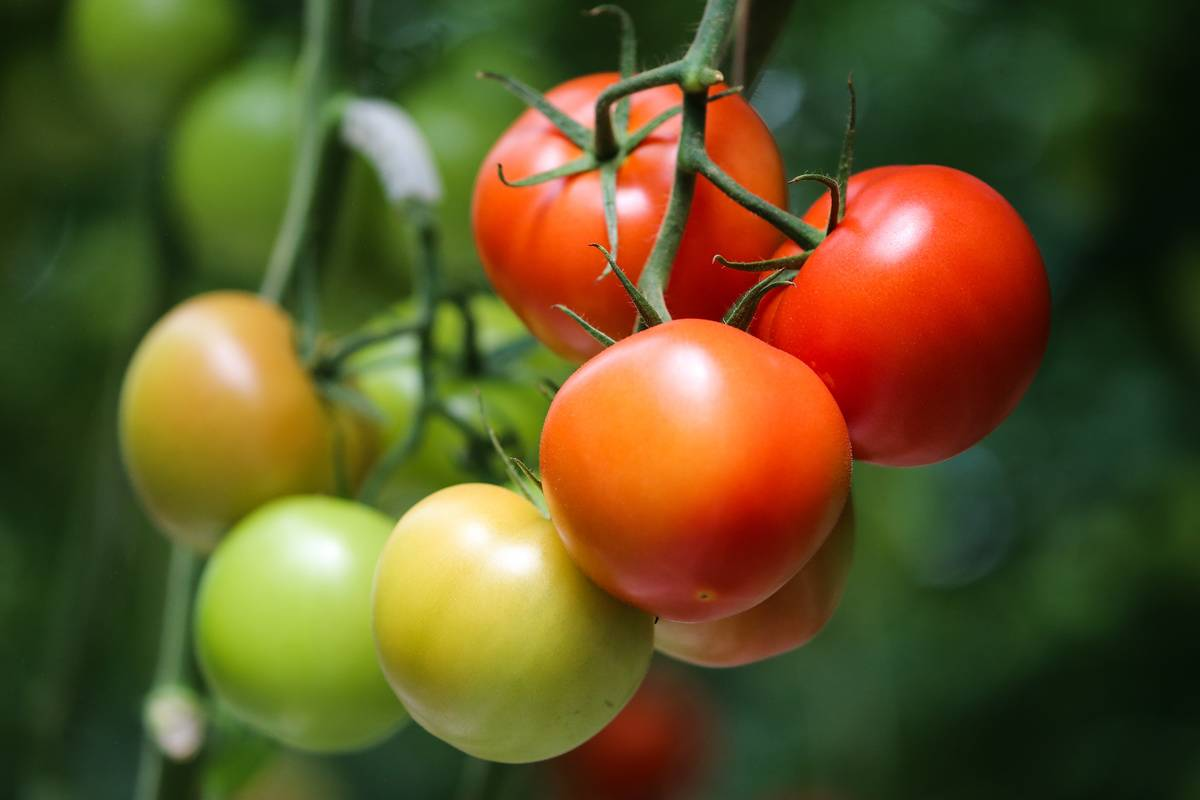 Freshly-grown tomatoes hang from a vine.