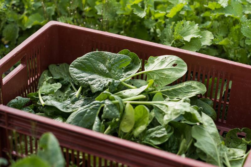 A basket contains freshly-picked spinach.