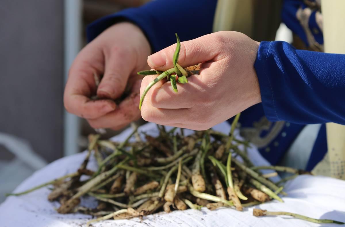A person sorts through freshly-grown garlic.