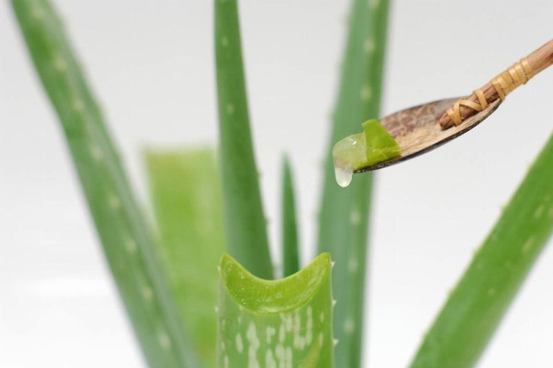 Gel leaks from a cut stem of aloe vera.