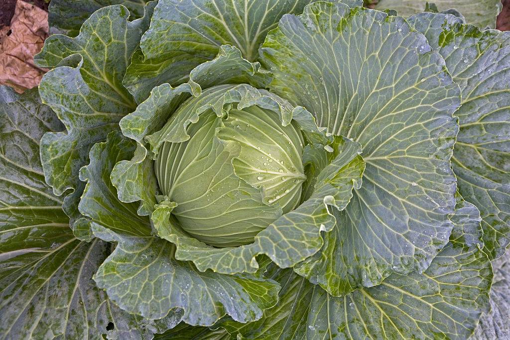 A healthy looking organic cabbage growing in the ground