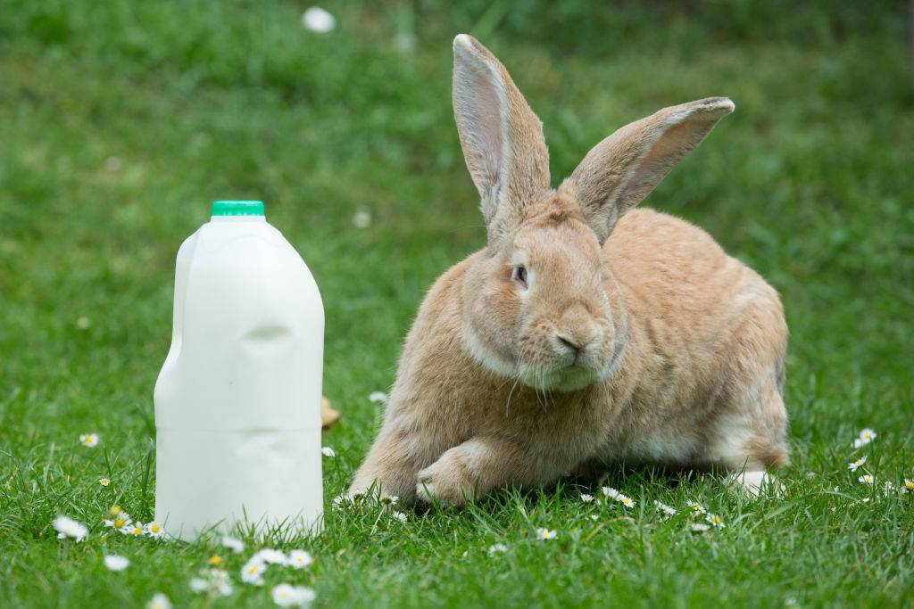 a gallon of milk next to a bunny sitting on the grass