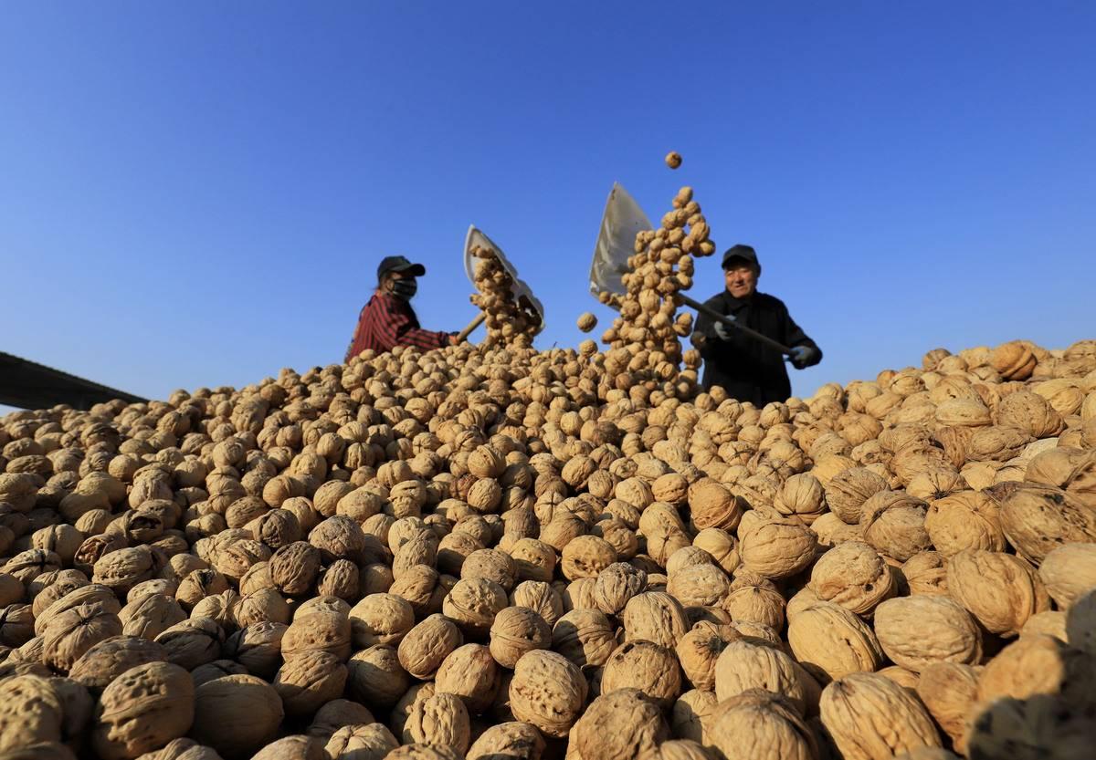 Farmers shovel dry walnuts into a pile.