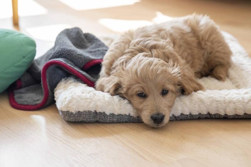 A goldendoodle dog lies on a pillow.