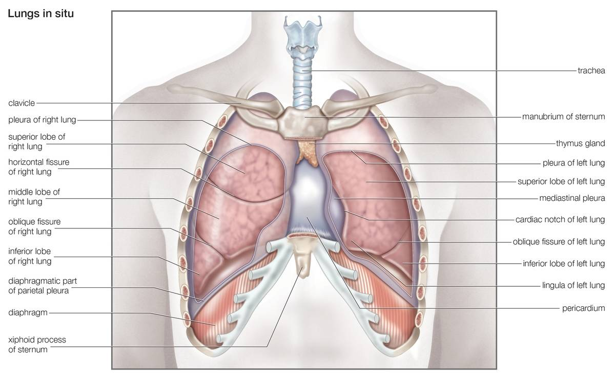 A labeled diagram shows the human lungs.
