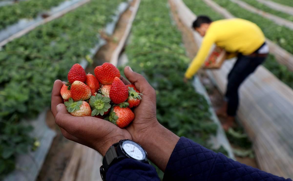 Harvest Strawberries In Gaza
