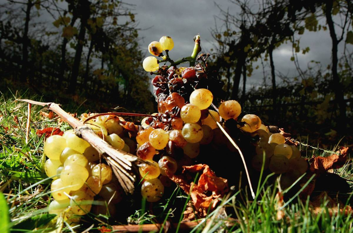 Rotten grapes are wrinkled on the ground.