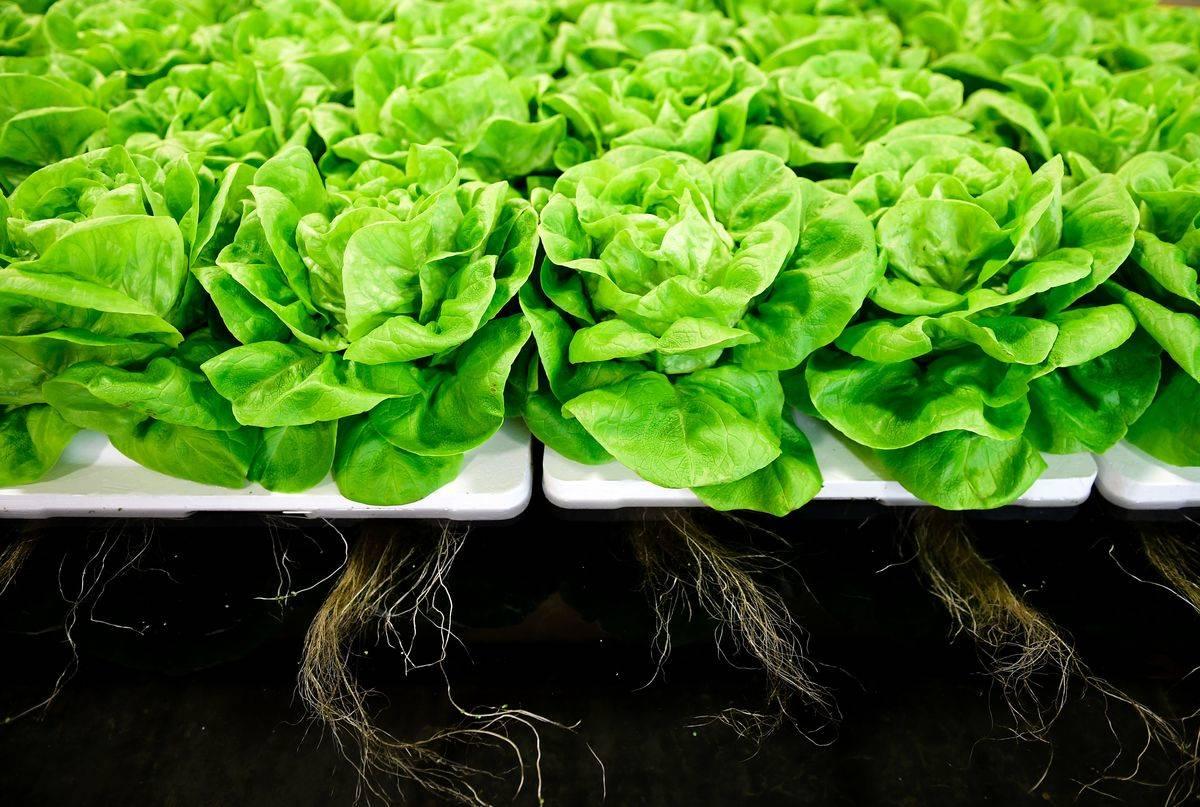 Lettuce grows on a platform.