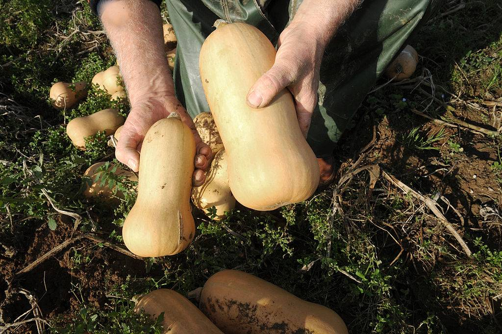 farmer holding butternut squash that was pulled from the dirt
