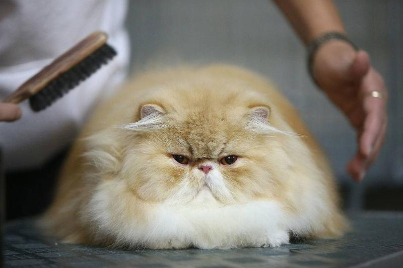 a large persian cat getting groomed