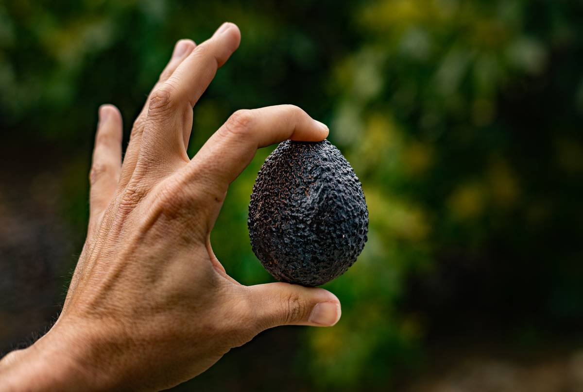 A man holds up a ripe avocado.