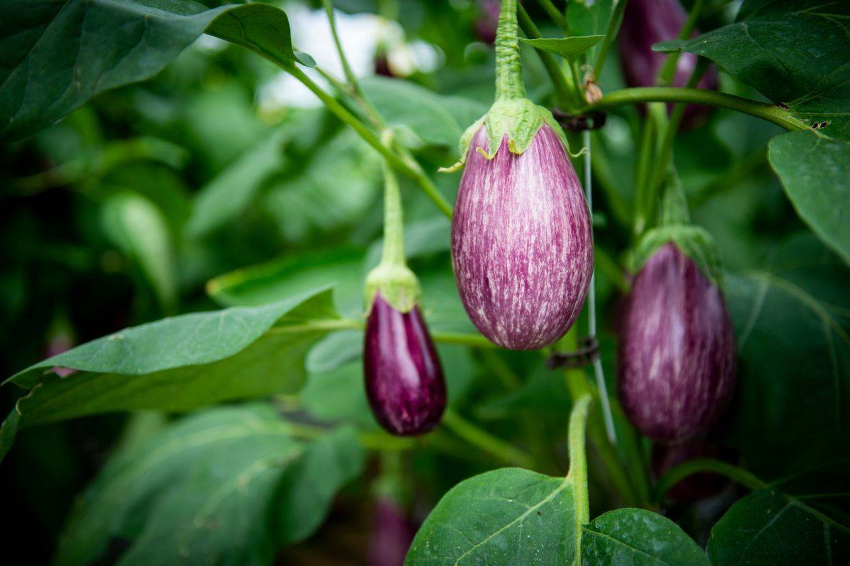 Eggplants hang from the vine.