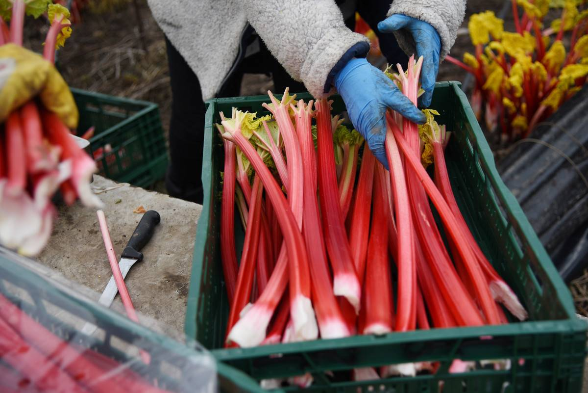 A worker picks up stalks of rhubarb from a crate.