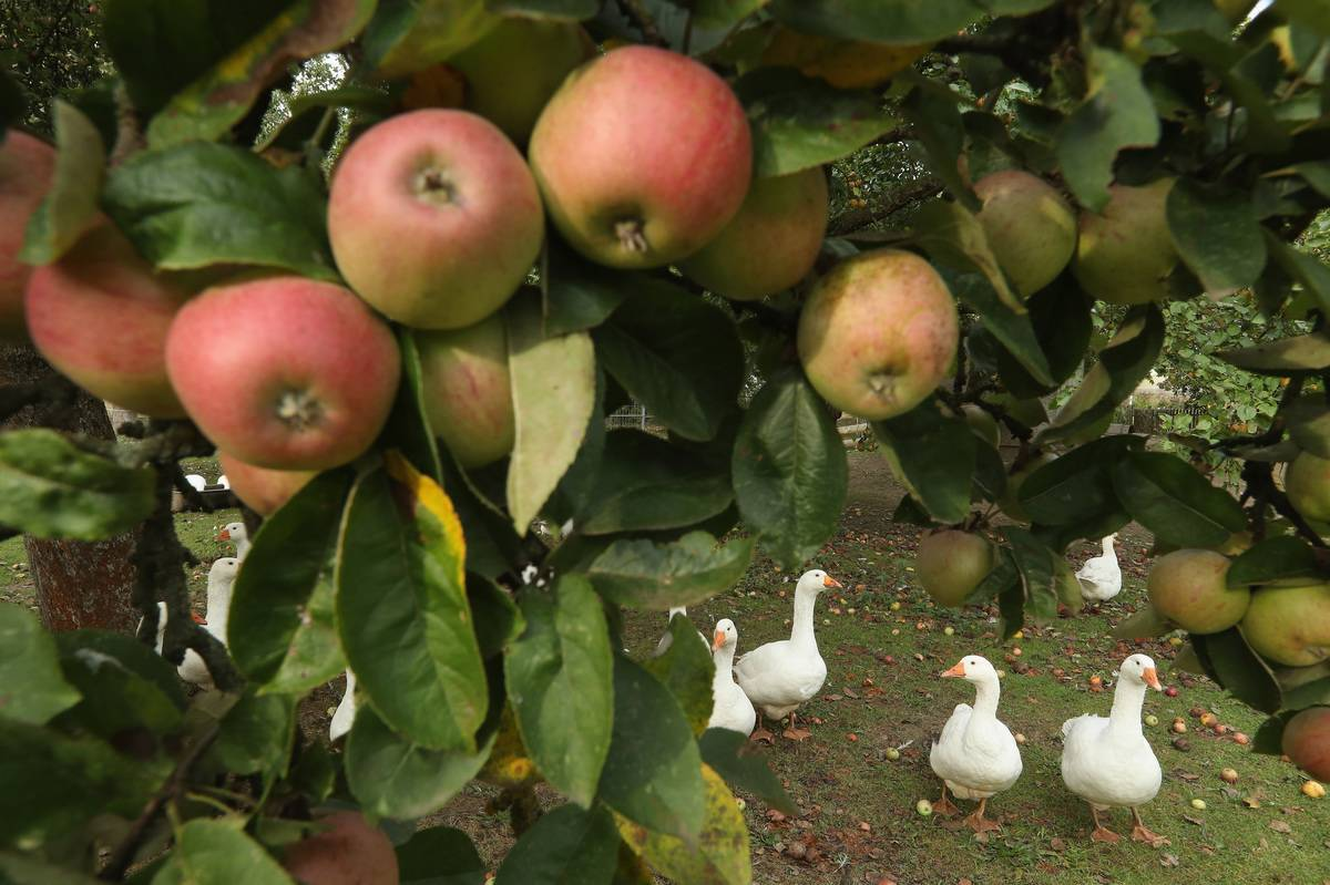 Apples hang on a tree, and ducks walk beneath it.