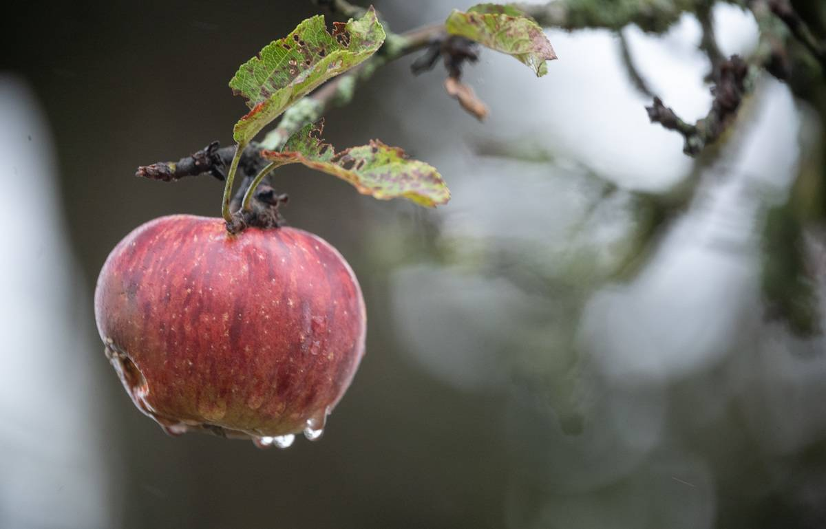 Water drips off of an apple that hangs from a tree.