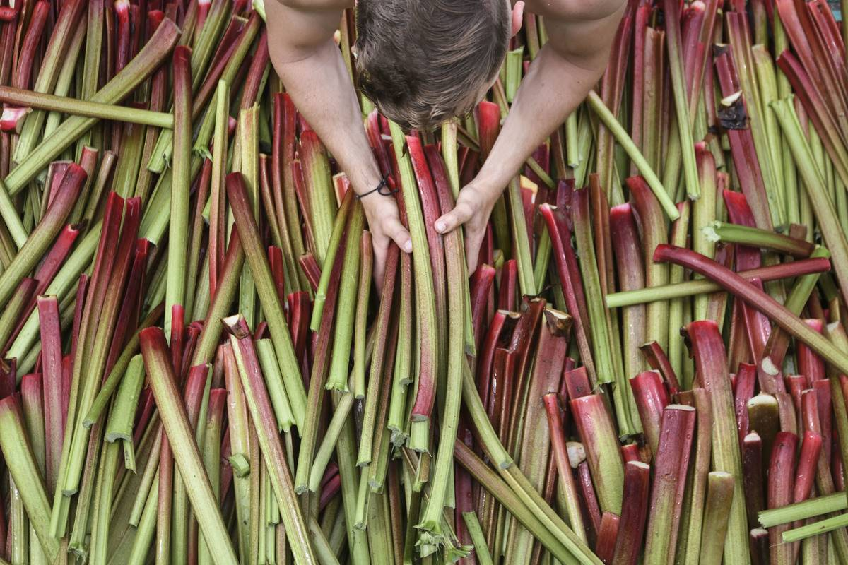 A man picks up sticks of rhubarb from a large pile.
