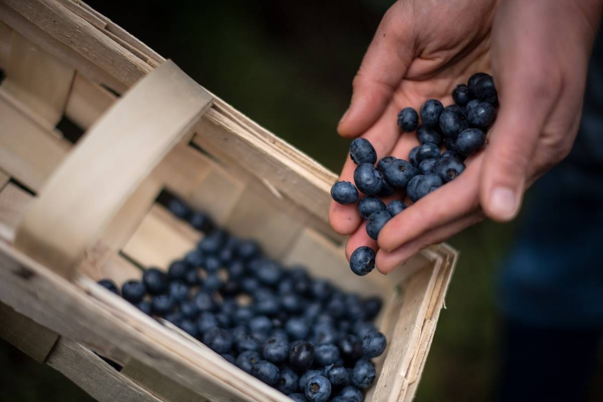 A woman places the blueberries she picked into a basket.