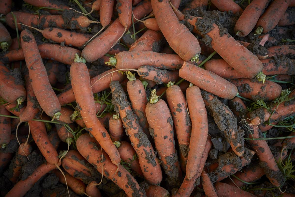 A group of dirty, freshly-picked carrots lie in a pile.