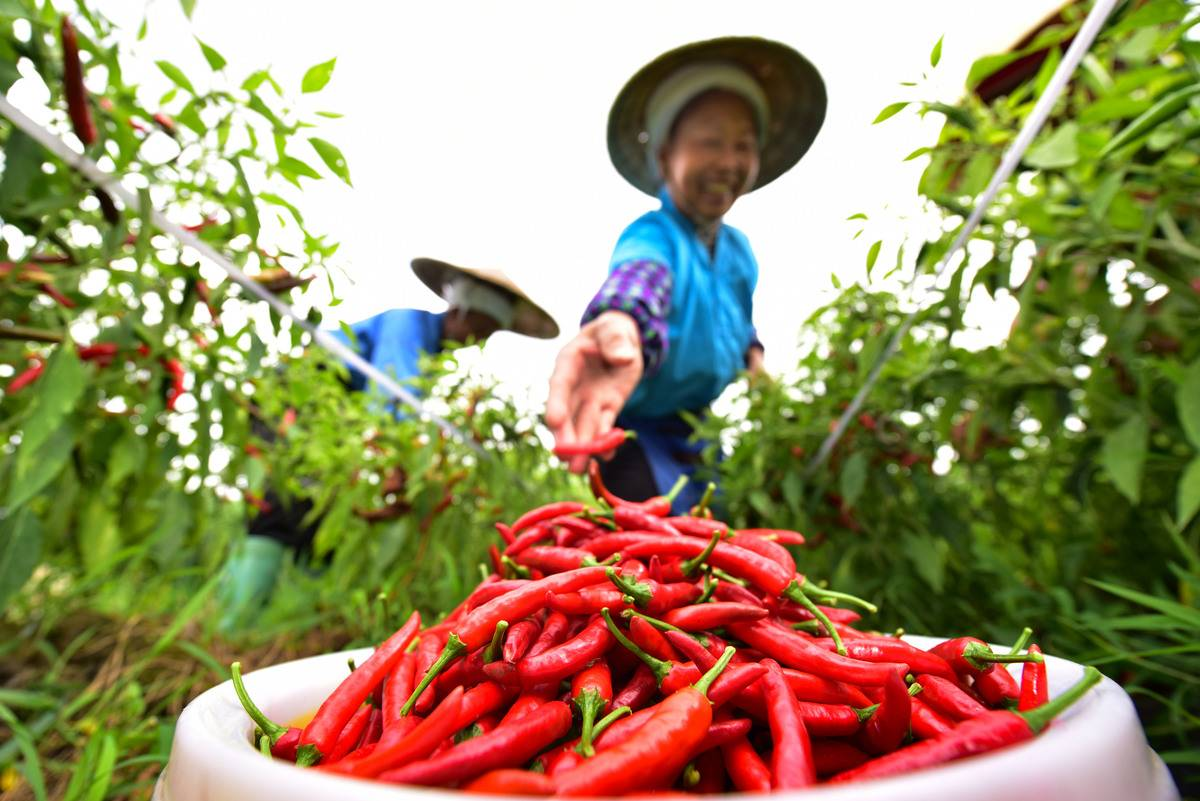 A woman harvests chili peppers and tosses them into a basket.