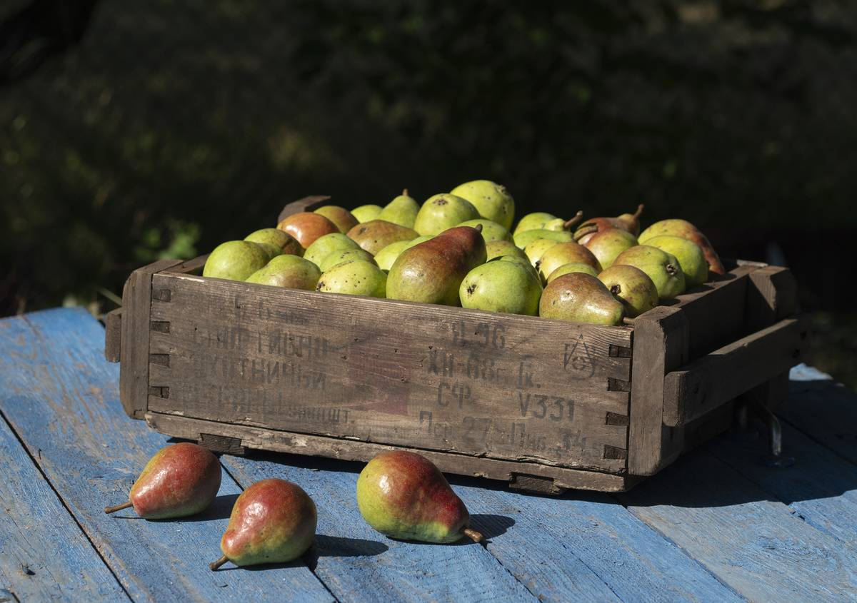 A crate holds freshly-picked pears.