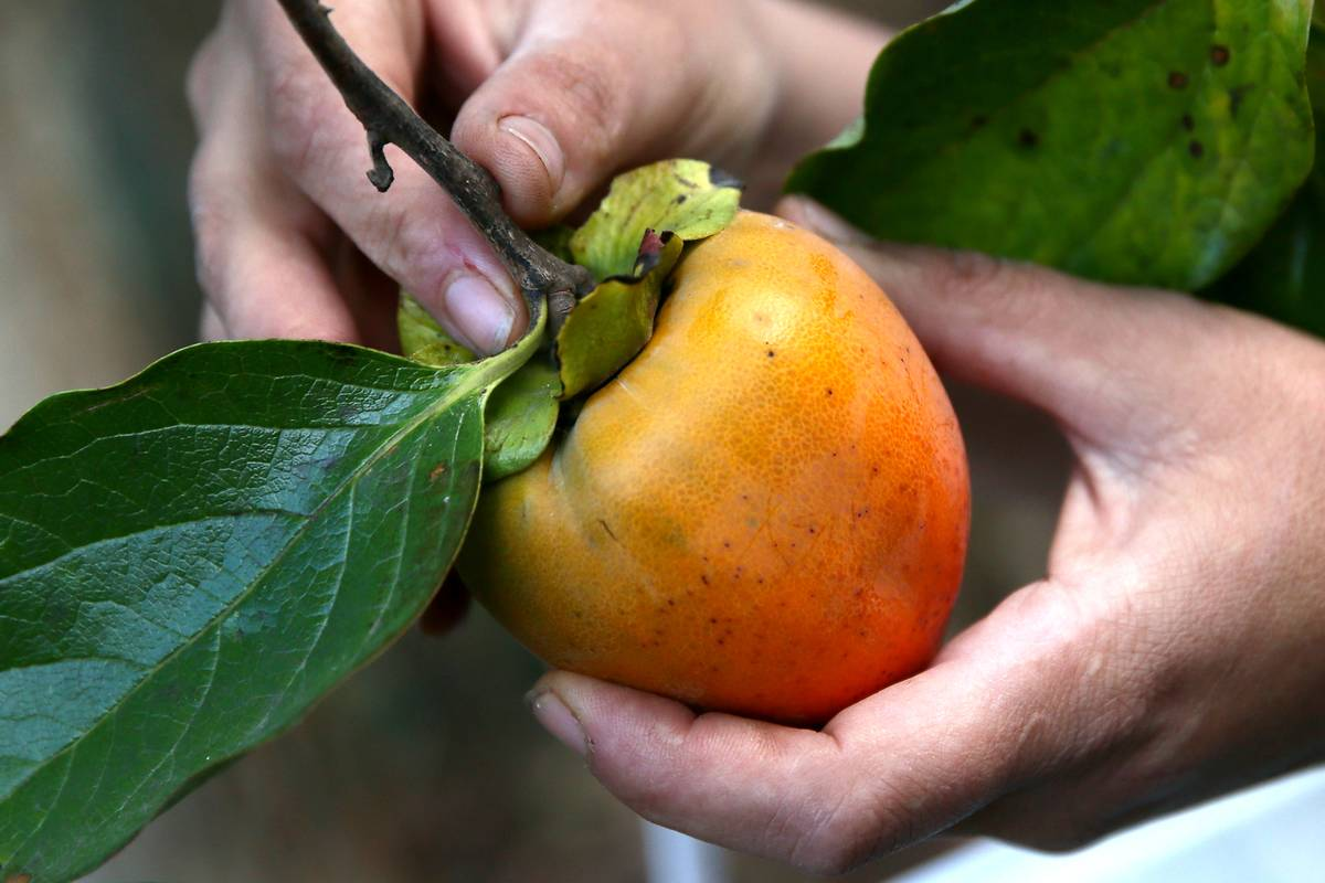 A harvester picks a persimmon off of a branch.