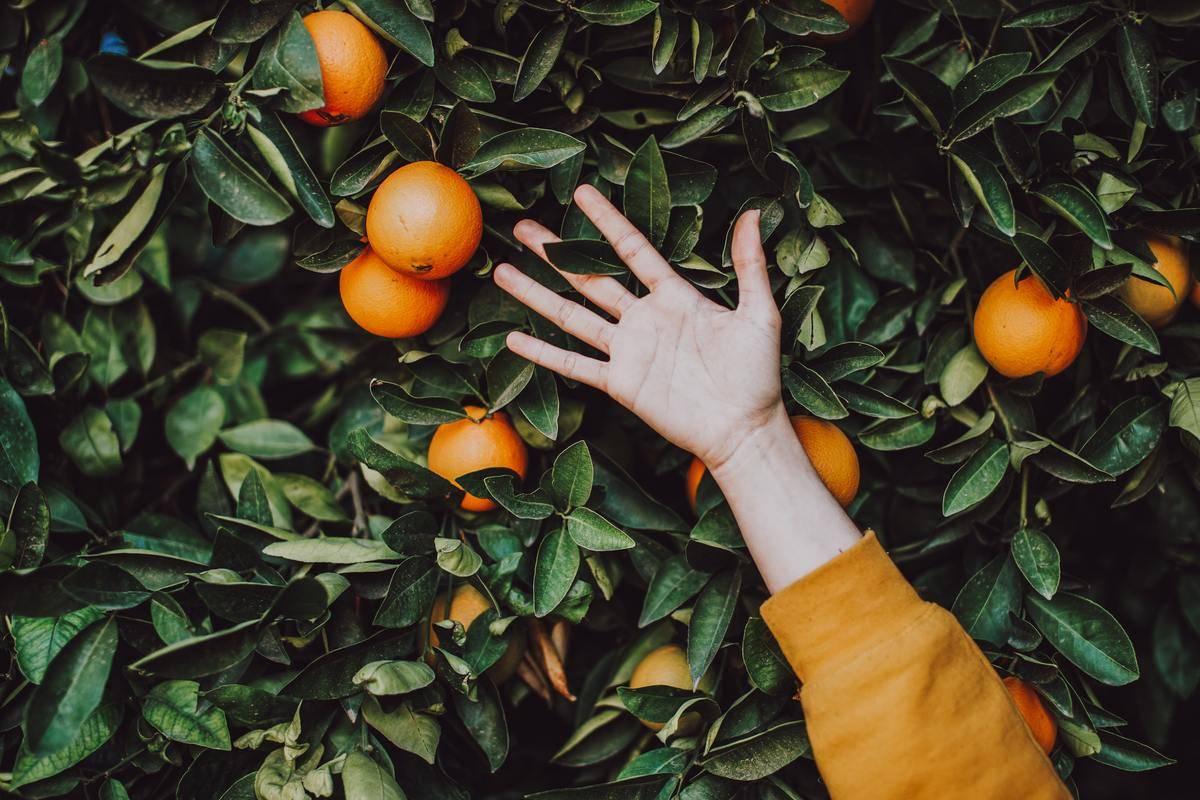 someone putting their hand on an orange tree