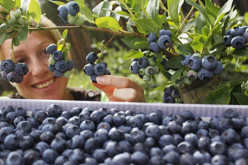 blueberries-31094-65538