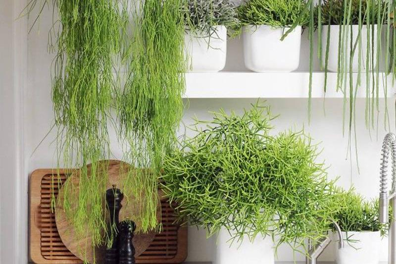 a-bunch-of-plants-on-kitchen-shelves-cropped-copy-28612