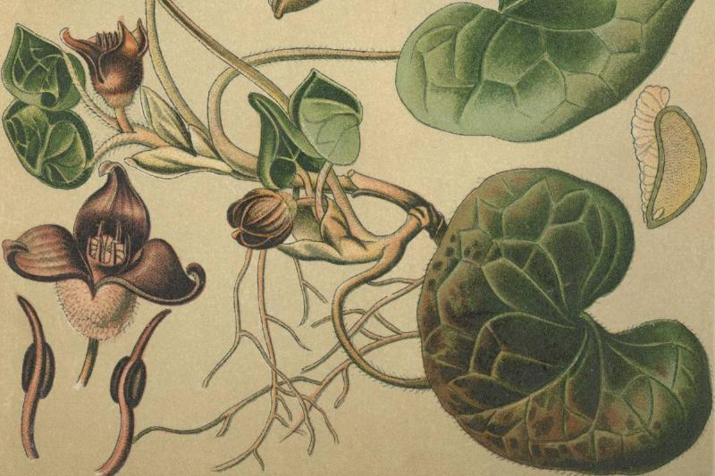 A 19th century drawing shows wild ginger.